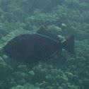 Black Trigger Fish