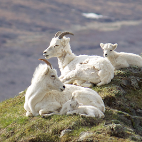 Dall Sheep by Ava Bethlenfalvy-Pitts - Animals Other ( mountain, denali, sheep,  )