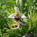 Erva abelha