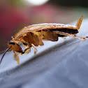 Cochroach