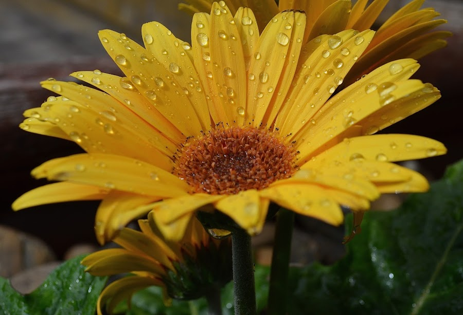 After The Watering by Ed Hanson - Flowers Single Flower ( nature, daisy, yellow, close-up, flower )