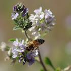 Western Honey Bee on Alfalfa