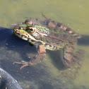 rana comun