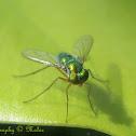 Asian Long Legged Fly