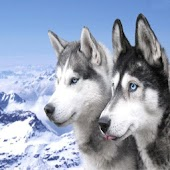 Snow Dogs Wallpapers