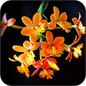 Tropical Orchids Wallpapers