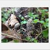 Morel mushroom