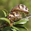 Paropsis pictipennis