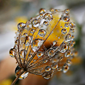 Dreamer's  Dream by Marija Jilek - Nature Up Close Natural Waterdrops ( a seed, water, dreams, dreamer, nature, goat-beard, plants, natural waterdrops,  )
