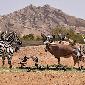 Al Ain Zoo by Carmel Bation - Animals Other ( zoo, al ain zoo, cow, zebra, birds,  )