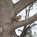 fox squirrel (or eastern fox squirrel, Bryant's fox squirrel)