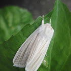 Cattail Moth