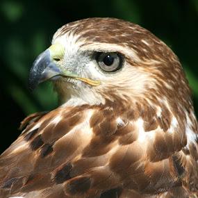Red-Tailed Hawk by Ken Keener - Animals Birds ( red-tailed, bird of prey, red-tailed hawk, raptor, hawk )