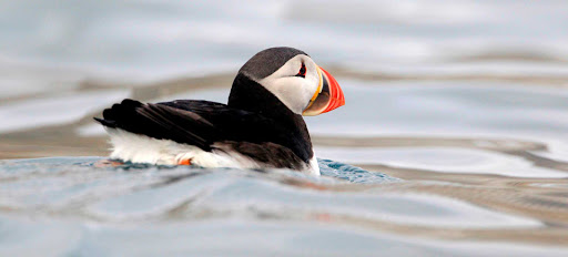 Svalbard-puffin - Who doesn't love puffins? A puffin scoots around the waters of Svalbard, Norway.