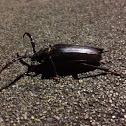 prionus longhorn beetle