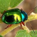 Dogbane beetle, escarabajo, besouro