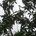 Long tail bird, rabilargo