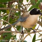 Iberian Azure-winged Magpie