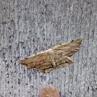 Lytrosis Moth
