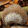 Grey spotted amanita mushroom