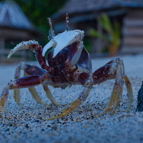 Crab by Václav Halfar - Animals Sea Creatures ( threatening, sandstone, eyes peeled, ocean, ghost, travel, beach, frozen, pincers, arthropod, defence, sand, ocypodinae, brachyura, pacific, rigid, sea, dangerous, samoa, crab, observer, palma, palm tree, lava, lalomanu, fale, few legs )