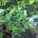 Low Bush Blueberries