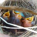 Bluebird (box #5, Brood 2)