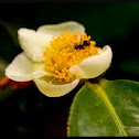 Flower of tea