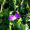 Spotted Geranium