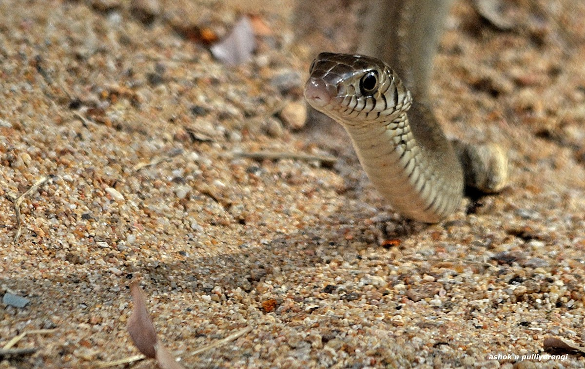 Image result for indian rat snake