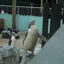 hoiho/ yellow eyed penguin