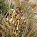 Banana Yucca