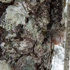 Green Starburst Lichen