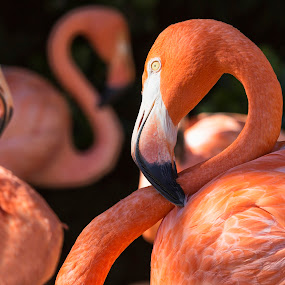 Three red flamingos with dark background by Naďa Murmakova - Animals Birds ( fauna, travel, feather, nature, pink, head, light, biology, eye, isolated, wild, lake, portrait, crimson, view, natural, face, reflection, neck, african, colorful, tropical, wildlife, beauty, landscape, cute, exotic, flock, caribbean, flamenco, american, flamingo, pond, closeup, animal, profile, green, elegance, beautiful, plumage, scenic, aviary, bird, red, color, outdoor, beak, summer, group,  )