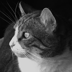 CONTIMPLATION by Donna Wood - Novices Only Pets ( purr, cat, pets, whiskers, rescues, black and white, animal )