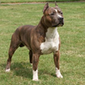 Dog Puzzle: American Staffords icon