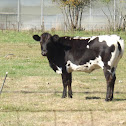Holstein and Ayshire Cattle