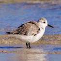 Sanderling (basic plumage)
