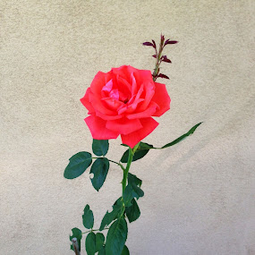 by Darla Grumbles - Flowers Single Flower (  )