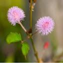 Mimosa (aka Sensitive Plant aka Shy Plant)