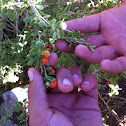 Wolfberry bush