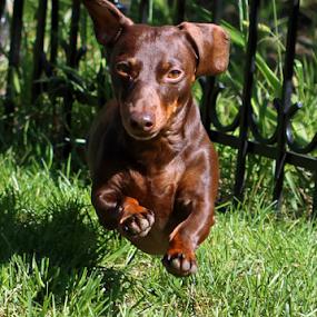 Dachshund running by Rick Touhey - Animals - Dogs Running ( dog running, dachshund, dog,  )