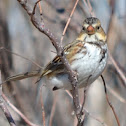 Harris's Sparrow (immature)