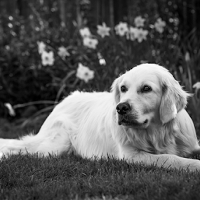 Golden Retriever Sitting in Garden by Philip Cormack - Animals - Dogs Portraits ( loyal, retriever, playful, friendly, energetic, playing, resting, female, pet, fur, puppy, gold, dog, garden, friend, golden, animal )