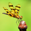 Halloween Pennant Dragonfly