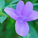 Philippine Violet