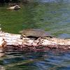 Spiny softshell turtle (female)