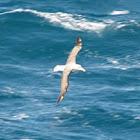 Albatross or Mollymawk?