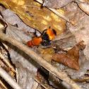 Red velvet ant (wasp really)