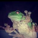 Australia green tree frog